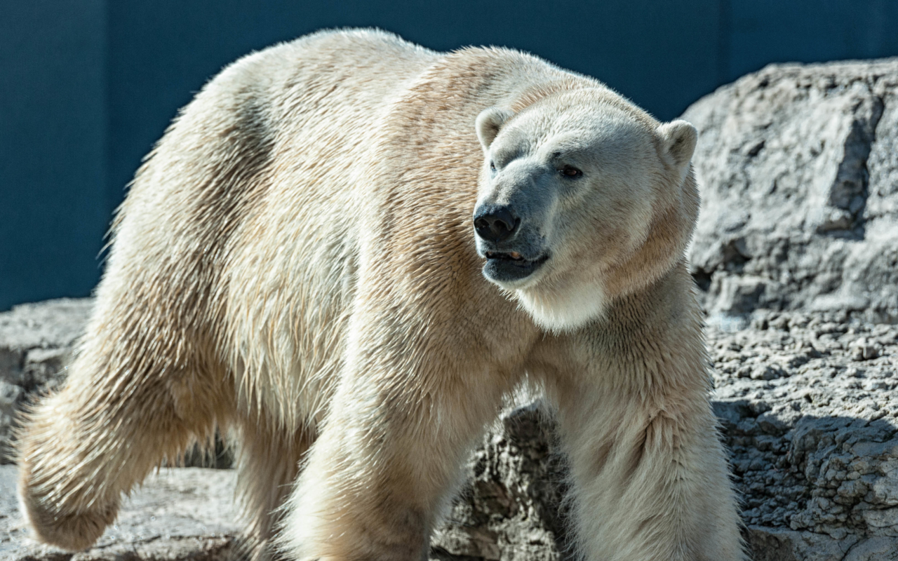 Polar bear – Toronto Zoo