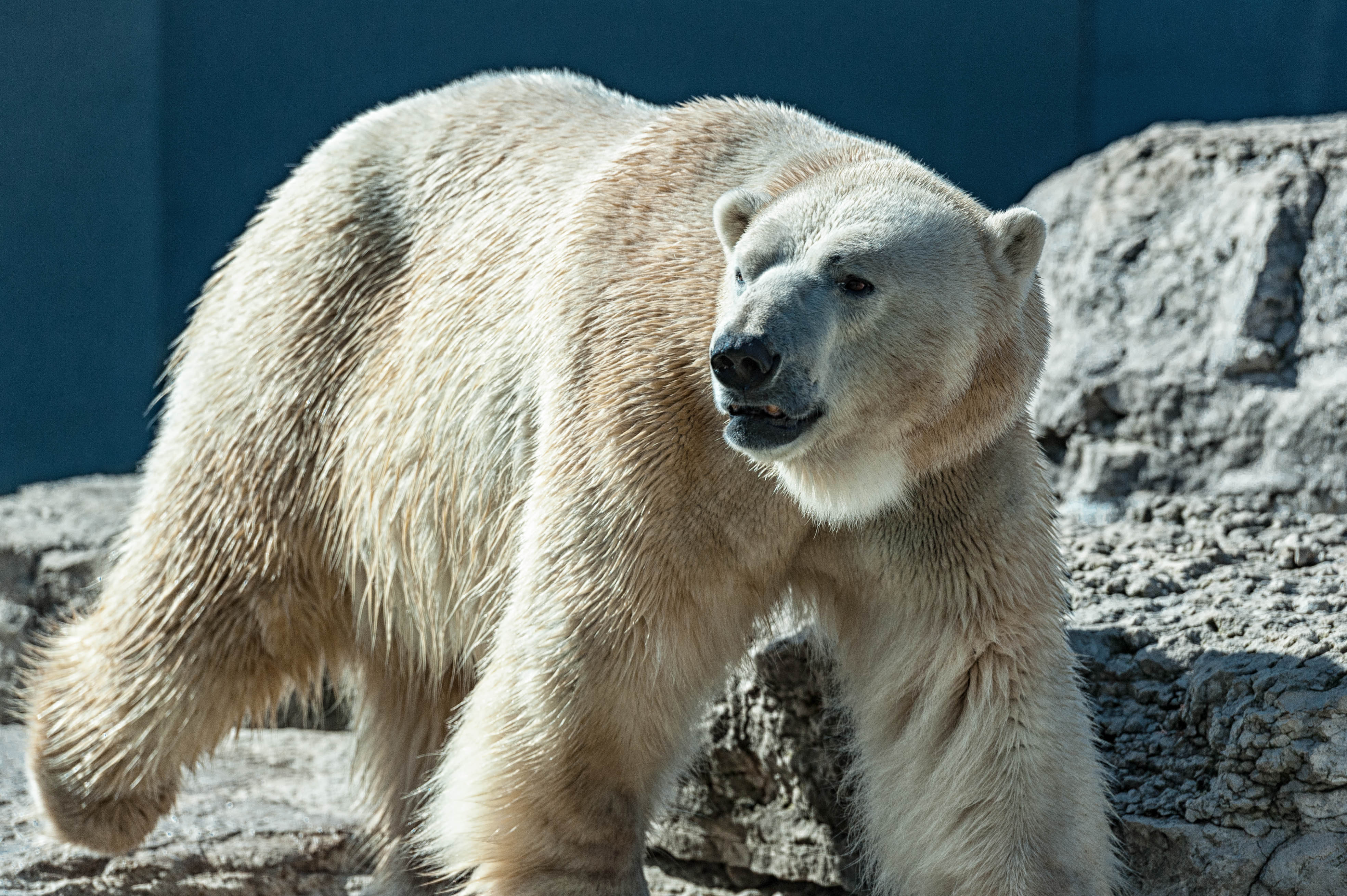 Polar bear – Toronto Zoo