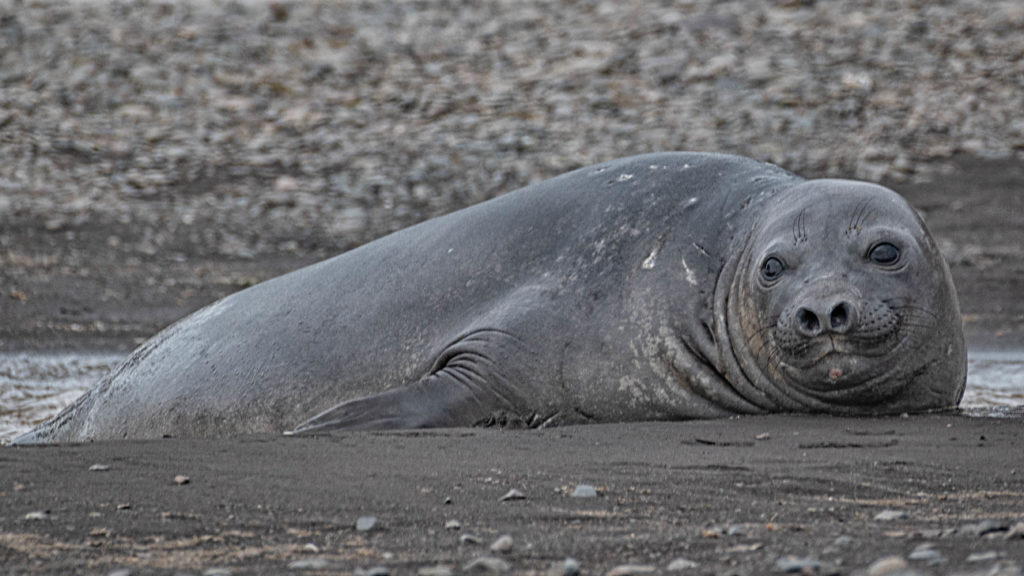 Elephant seal at Walker Beach, Livingston Island