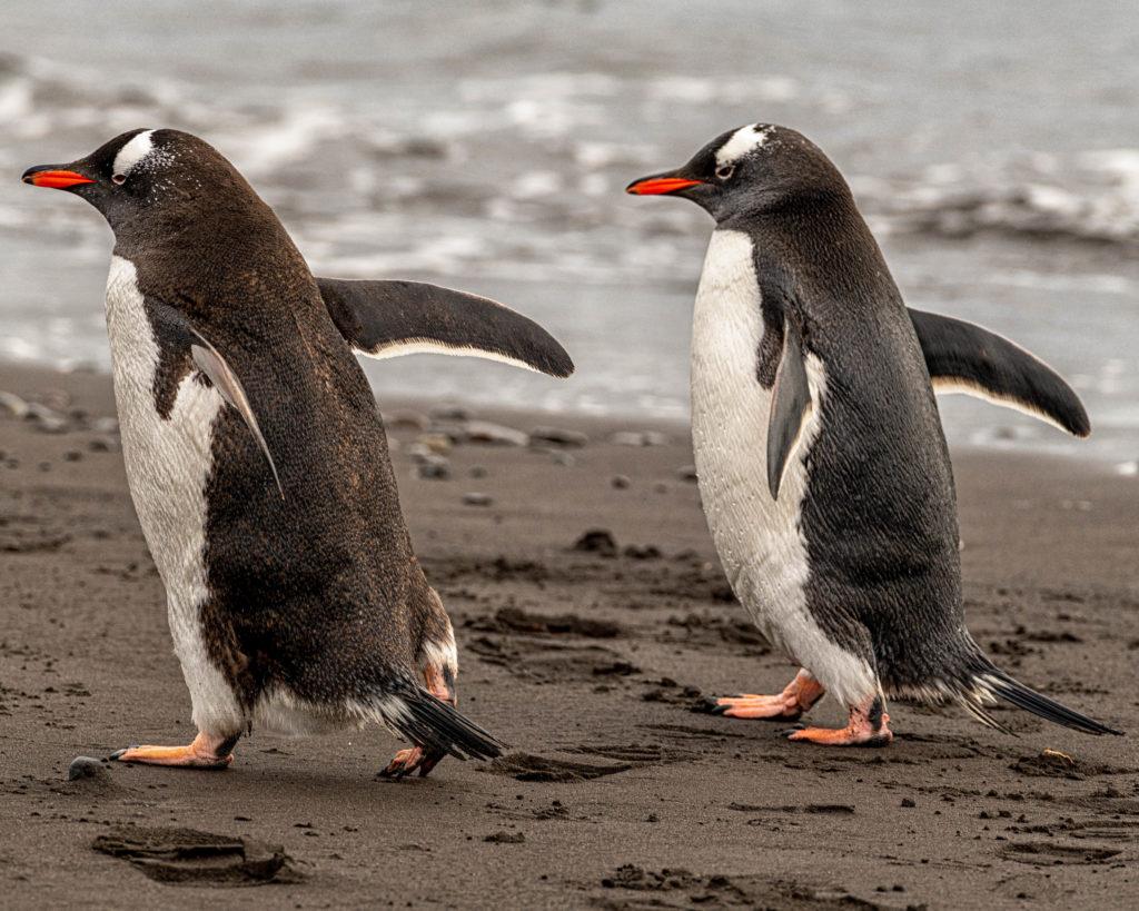 Gentoo penguins at Walker Beach, Livingston Island
