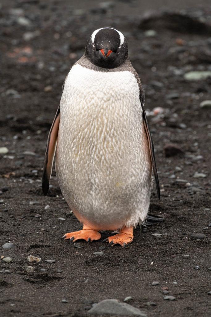 Gentoo penguin at Barrientos Island -    Aitcho Islands
