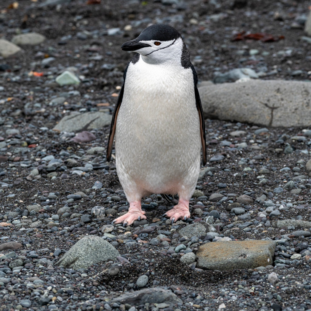 Chinstrap Penguin at Barrientos Island, Aitcho Islands