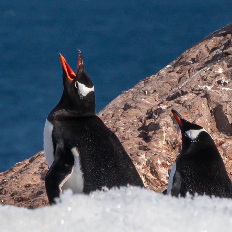 Gentoo penguins at Neko Harbor