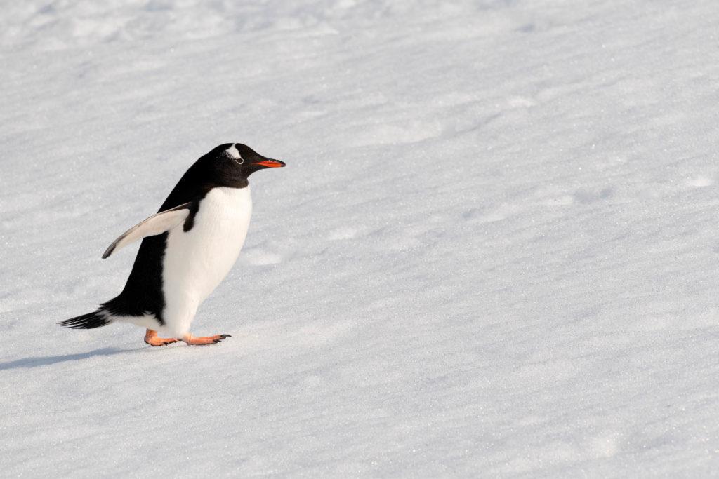 Gentoo penguin at Neko Harbor