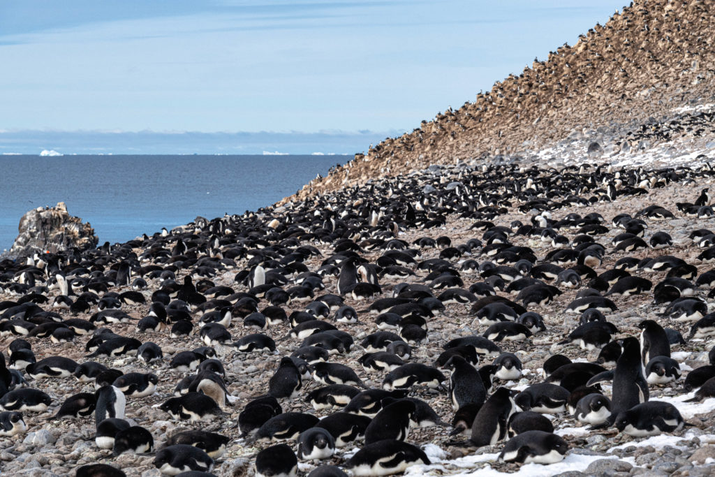 Adelie Penguin colony at Paulet Island
