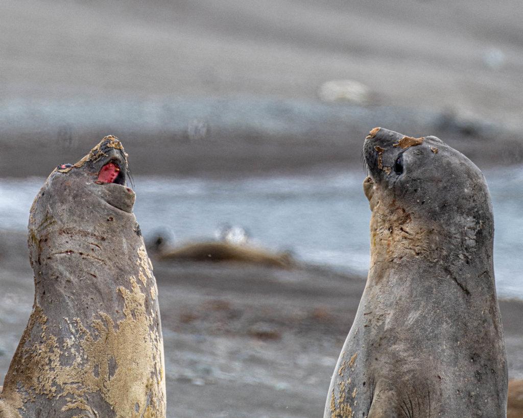 Elephant seals at Walker Beach, Livingston Island