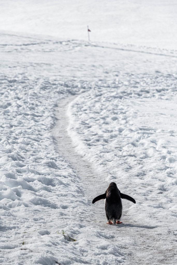 """Penguin """"highway"""" at Neko Harbour"""