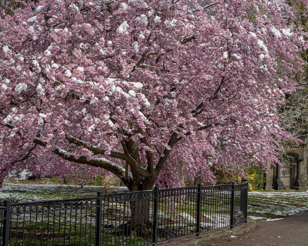 Cherry Blossoms - Mount Pleasant Cemetery